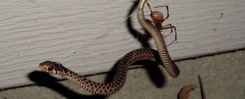 'Almost Unbelievable': Gruesome Encounters Show Spiders Feasting on Snakes
