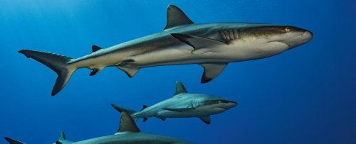 How Do Constantly Swimming Sharks Ever Rest? Scientists Just Figured It Out