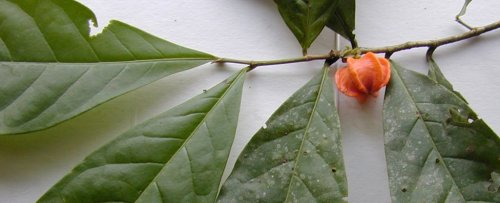 This Unusual Plant From The Amazon Rainforest Has Baffled Scientists For 50 Years