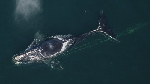 What's Gone Wrong With Right Whales?