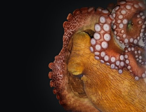 Some Octopuses Give A Technicolor Show While They Sleep