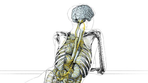 Newly detailed nerve links between brain and other organs shape thoughts, memories, and feelings