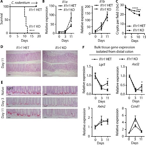 IL-1R1–dependent signaling coordinates epithelial regeneration in response to intestinal damage