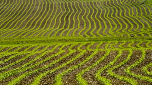 Why does corn grow so well? Scientists think soil microbes play a role