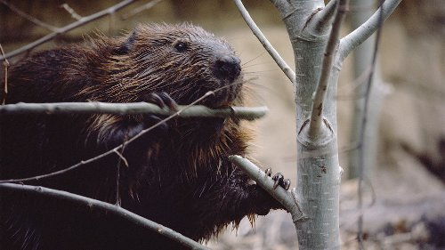 Wolf attacks on beavers are altering the very landscape of a national park