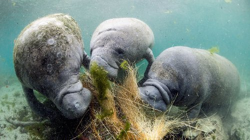 Cloudy waters are driving Florida's massive manatee die-off
