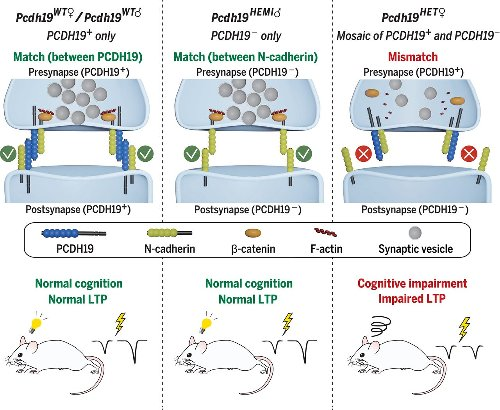 Female-specific synaptic dysfunction and cognitive impairment in a mouse model of PCDH19 disorder