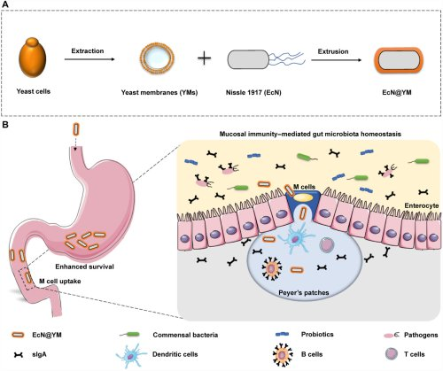 Mucosal immunity–mediated modulation of the gut microbiome by oral delivery of probiotics into Peyer's patches