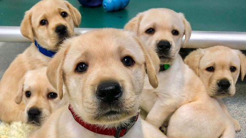 These adorable puppies may help explain why dogs understand our body language