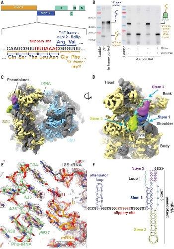Structural basis of ribosomal frameshifting during translation of the SARS-CoV-2 RNA genome