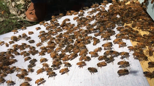 Honey bees rally to their queen via 'game of telephone'