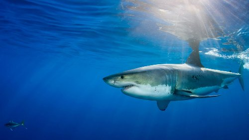 Sharks use Earth's magnetic field to navigate the seas