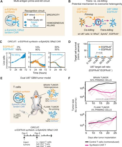 SynNotch-CAR T cells overcome challenges of specificity, heterogeneity, and persistence in treating glioblastoma