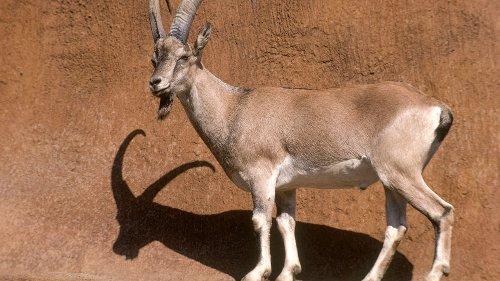 Oldest livestock genome reveals origin of today's goats