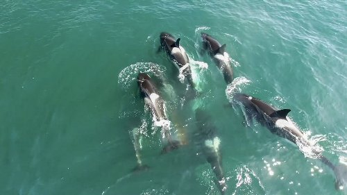 Killer whales form killer friendships, new drone footage suggests