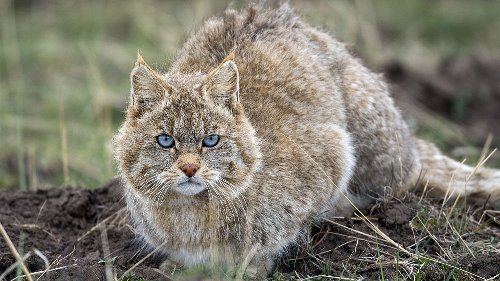 China's most mysterious wildcat may not be its own species