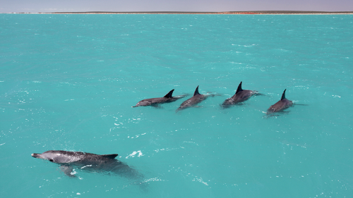 Dolphins learn the 'names' of their friends to form teams—a first in animal kingdom