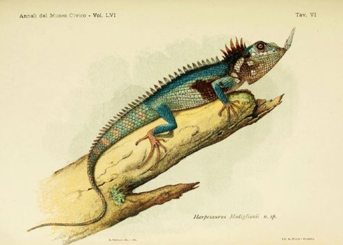A nose-horned dragon lizard lost to science for over 100 years has been found