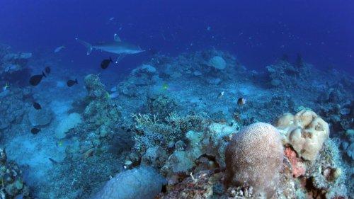 Corals' hidden genetic diversity corresponds to distinct lifestyles
