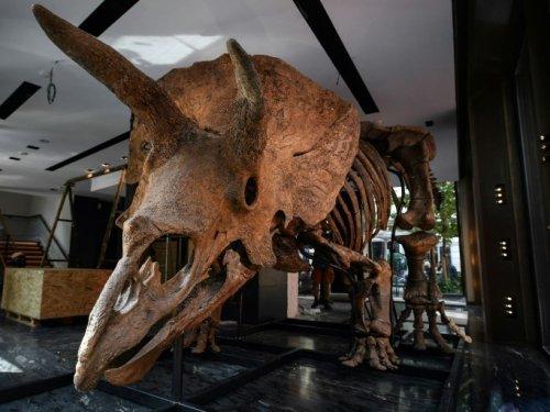Ventes aux enchères de dinosaures : la frustration des paléo - Sciences et Avenir