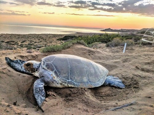 Au nord de Chypre, la situation des tortues caouannes et des tortues vertes s'améliore