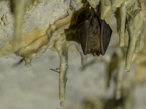 En raison de leurs microbiotes, certaines espèces de chauves-souris attirent davantage les parasites