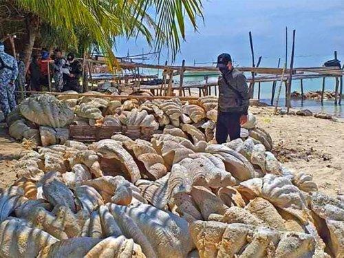 Philippines: saisie record de 200 tonnes de coquillages géants