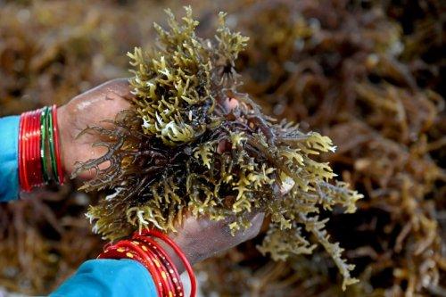 """La """"culture miracle"""" des algues marines, dévoreuses de CO2, prend son essor en Inde - Sciences et Avenir"""