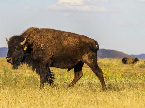 Plus de 45.000 candidats pour tuer 12 bisons dans un parc naturel américain