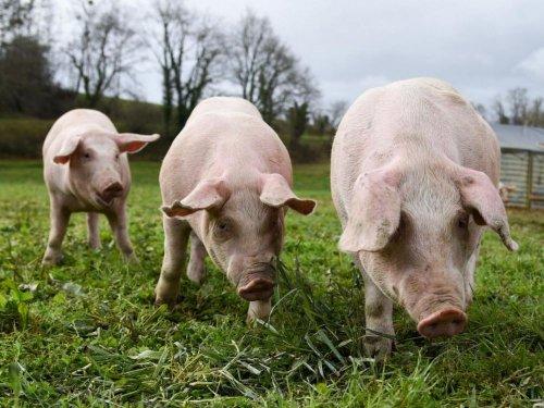 Xénogreffe : rein de cochon OGM implanté chez un humain - Sciences et Avenir