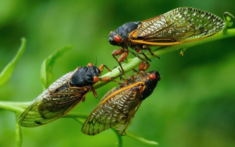 Brood X Cicadas Could Cause a Bird Baby Boom