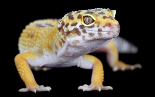 Cancer Clues Found in Gene behind 'Lemon Frost' Gecko Color