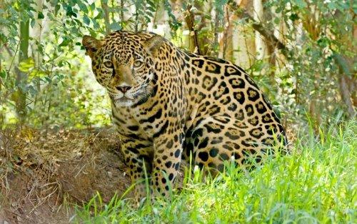 Let's Rebuild the U.S. Jaguar Population—Yes, Jaguars