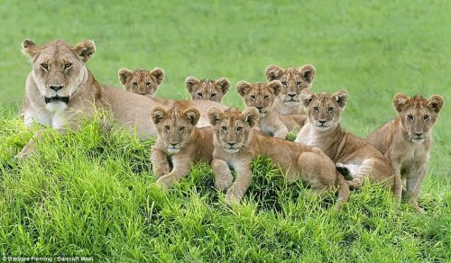 Wildlife Photographer Captures Once-In-A-Lifetime Shot Of Lioness Mom With Cute 8 Cubs (5 Pics)