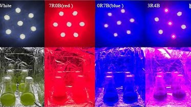 Colored LED Lighting Enhances Growth, Biosynthesis of Microalgae for Next-Generation Biofuel