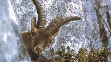 The Case of the Pyrenean Ibex: What Can We Learn From Vanishing Wildlife Species