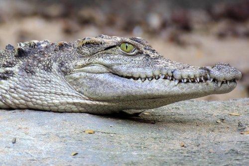 "New Species of Humongous Prehistoric Crocodile ""River Boss"" Discovered in Australia"