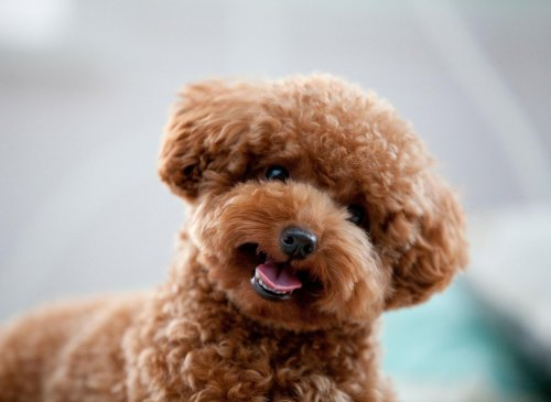Here are 10 facts you may not know about the majestic poodle breed of dog