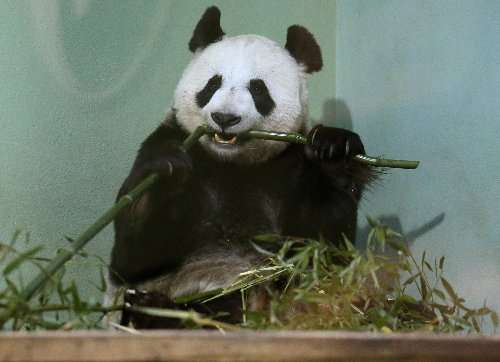 'Panda'monium: Outrage from animals rights group as Edinburgh Zoo seeks to extend lease of pandas