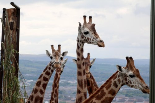 'This is pure conservation in action. I think the giraffes will be very happy here.'
