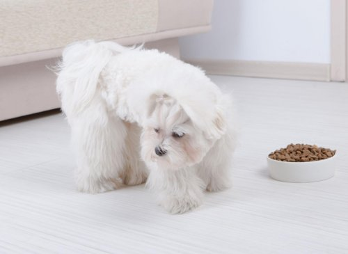 These are 10 breeds of fussy and adorable dogs that tend to be picky eaters