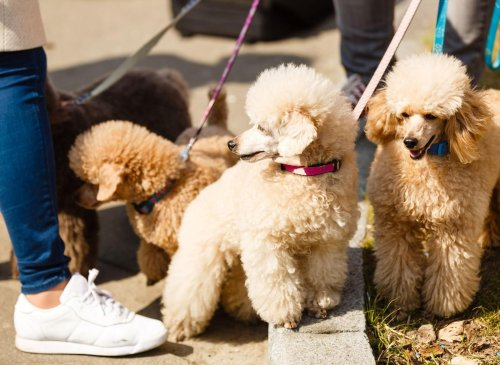 10 of the most popular adorable and hypoallergenic poodle crossbreed dogs