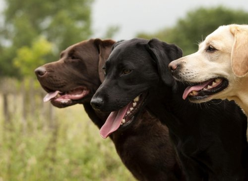 These are 10 fun and interesting dog facts about adorable Labrador Retrievers