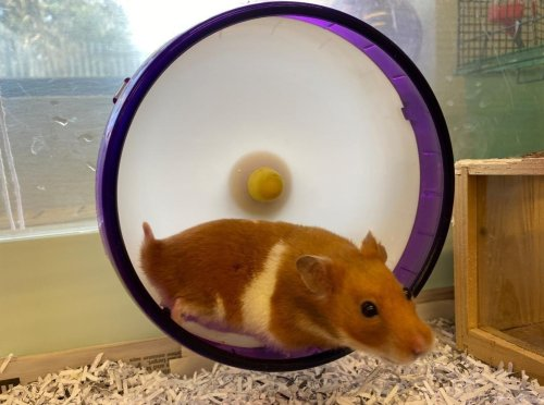 'It's likely he was dumped in there' - Mystery surrounds 'lucky' hamster found dumped in bin