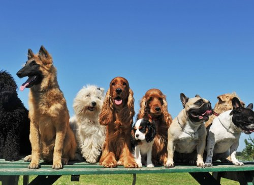 The 13 most popular breeds of dog according to Kennel Club registrations