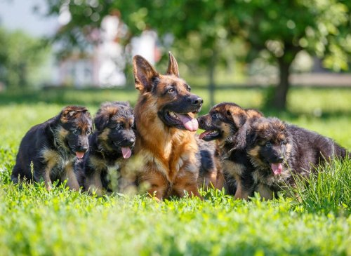 These are 10 fun and interesting dog facts about adorable German Shepherds