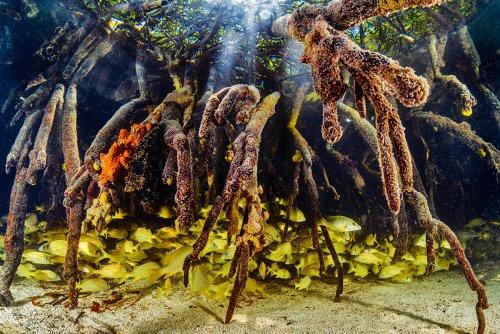 Bonaire's 'Mangrove Maniacs' Restore the Ocean's Nursery