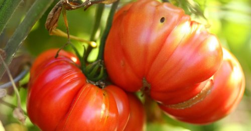 Late-season garden hacks for pulling every last tomato from the vine