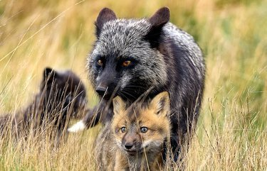 Foxy lady: a mother and her kits survey the landscape on San Juan Island
