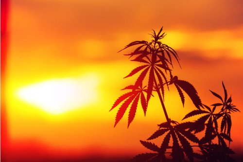 Trulieve Cannabis: Big Florida Risk (OTCMKTS:TCNNF)